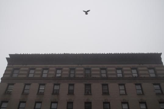 Pigeons -178th Street
