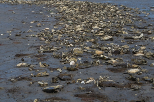 Oyster shell in the mud