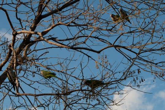 Quaker parrots - Riverbank -2