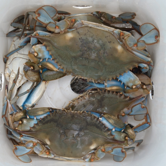 Now why are they called blue claws?