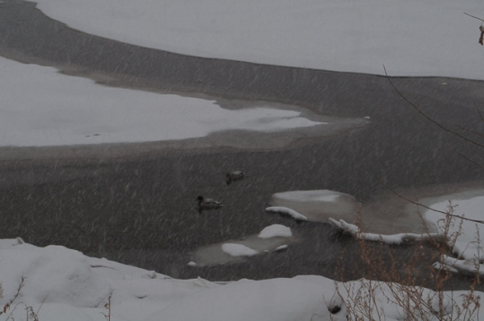 Ice Ducks-1