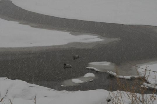 Ice Ducks-3